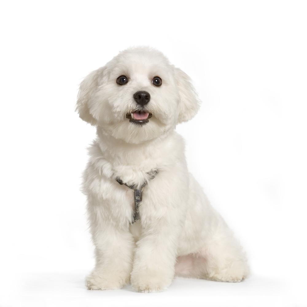 photodune-244631-maltese-dog-l.jpg
