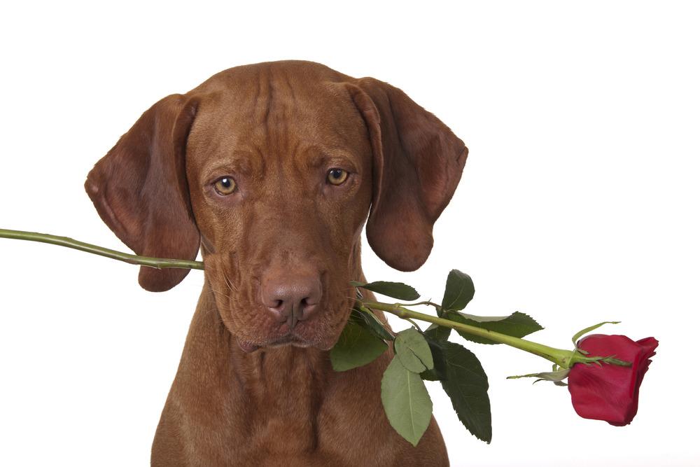 photodune-3591576-dog-holding-a-stem-of-rose-l.jpg