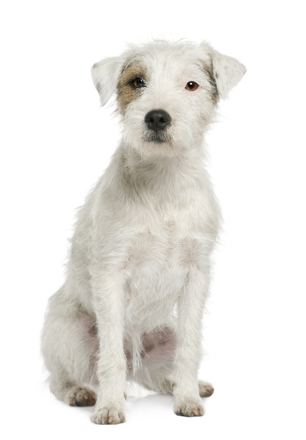 photodune-293785-parson-russell-terrier-sitting-in-front-of-white-background-l.jpg