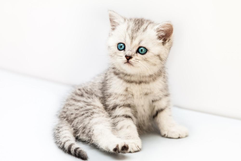 photodune-2906229-little-british-domestic-silver-tabby-cat-l.jpg