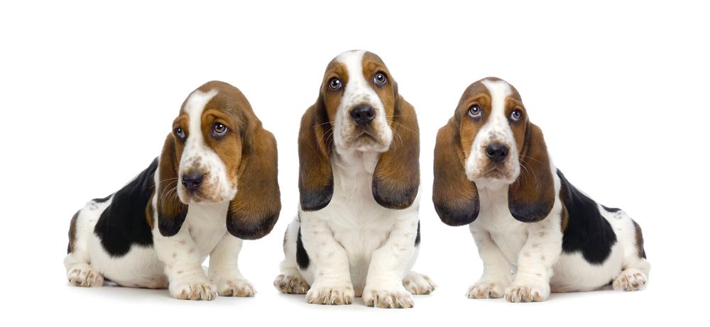 photodune-245785-basset-hound-puppies-hush-puppies-m.jpg