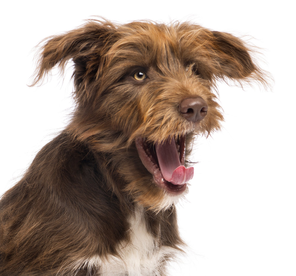 photodune-4703796-closeup-of-a-crossbreed-5-months-old-yawning-against-white-background-l.jpg