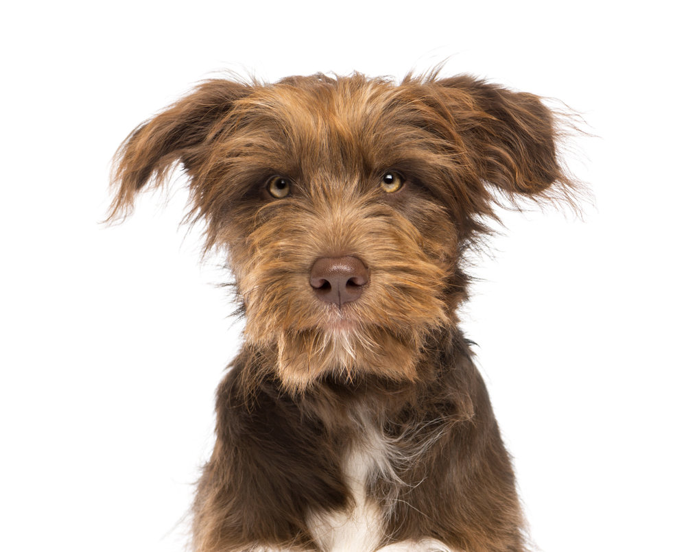 photodune-4702407-closeup-of-a-crossbreed-5-months-old-looking-at-camera-against-white-background-l.jpg