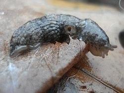 Petite limace grise
