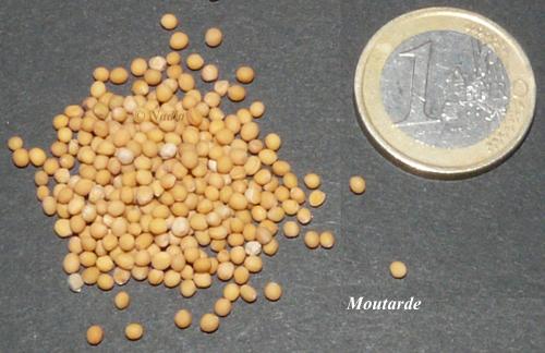 Grains de moutarde blanche comparés à une pièce de 1 €