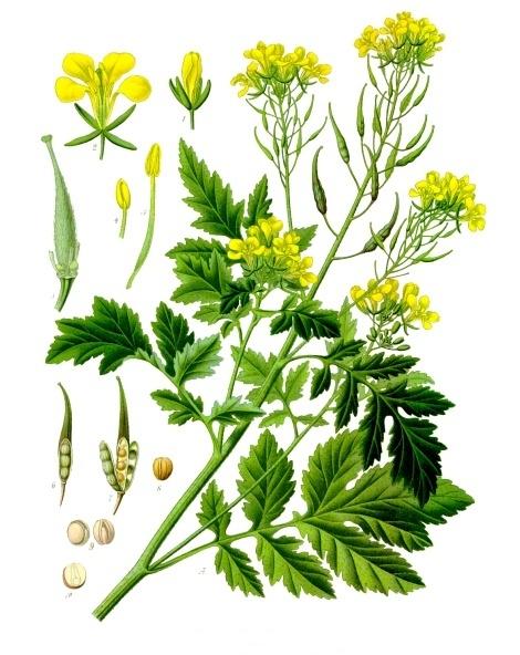 Les étapes de la croissance de la moutarde blanche