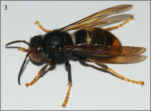 Frelon à pattes jaunes (Vespa velutina nigrithorax) L'abdomen est noir, cerné de deux liserés fins jaune-orange et d'un segment orange. Les pattes sont jaunes, le thorax noir, et la tête orange et noire. L'ouvrière mesure entre 17 et 26mm. La reine peut atteindre 32mm.