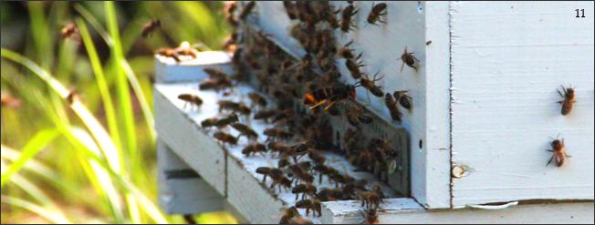 """Un frelon asiatique en vol stationnaire devant la planche d'envol d'une ruche. Ici, une réglette ajourée appelée """"réducteur d'entrée"""" a été installée pour protéger la ruche des intrusions."""