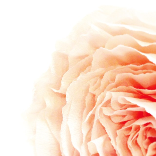 Mischievous nymphs were said to hide in the petals of the Peony. #languageofflowers