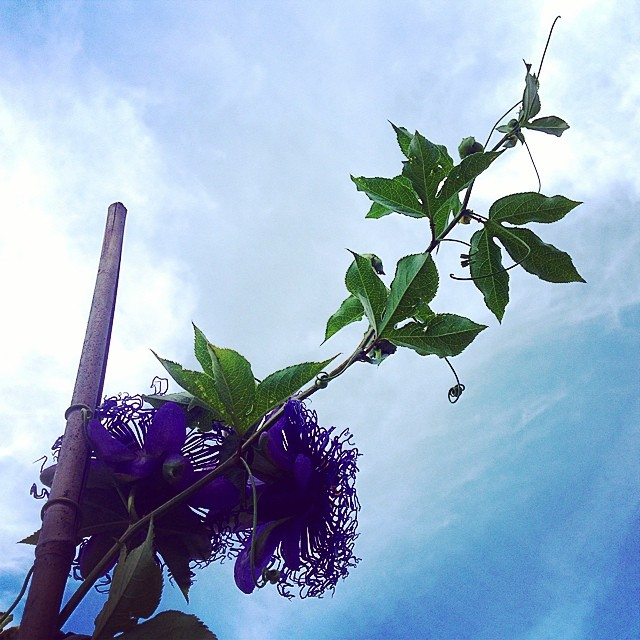 Inspiration Day. #passionflower vines at the #BBG