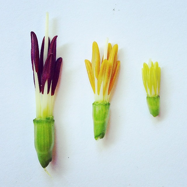 Dissected tiger lily buds reveal a sweet stamen surprise trio #dissectingflowers #thankyou