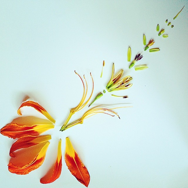 Just spent all day dissecting this tiger lily for a new piece. I drew each stage along the way. My favorite part was taking apart the buds and seeing the fully formed stamens inside. I even put the pollen under a microscope and had a happy surprise! #naturenerd #dissectedflower #tigerlily #flowermandala