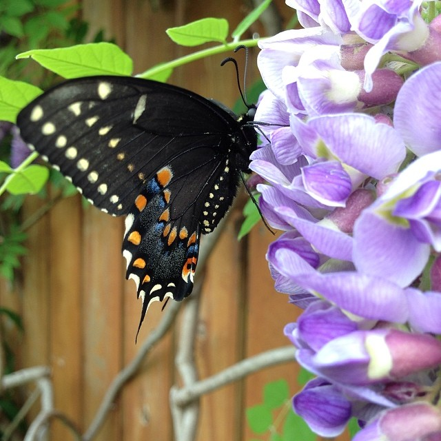 Nature is my church and this mariposa worships these purple flowers.