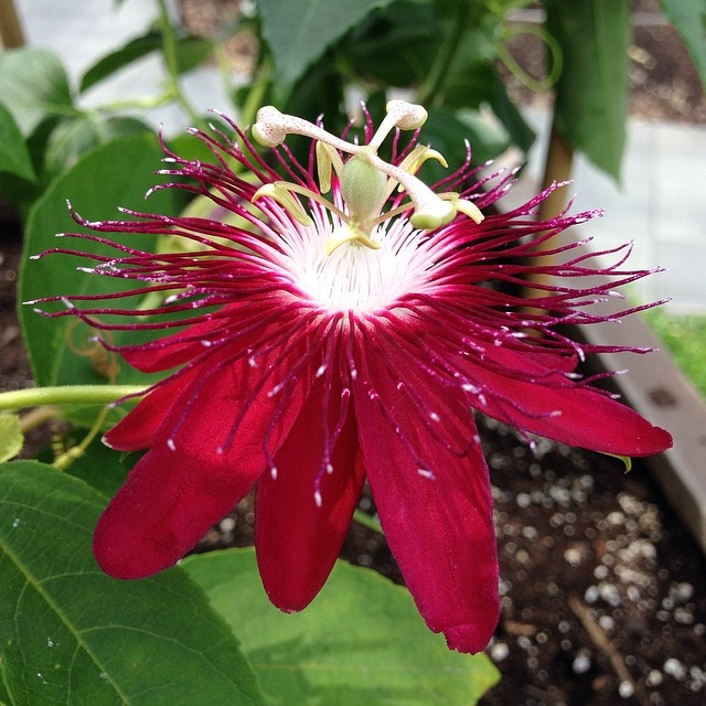 Passa flora. Inspiration at #BBG #passionflower