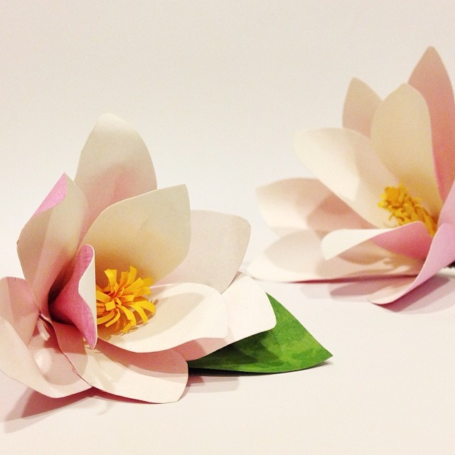 Double magnolia