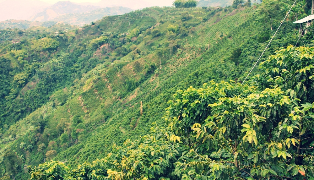 Steep coffee slopes in Caldas
