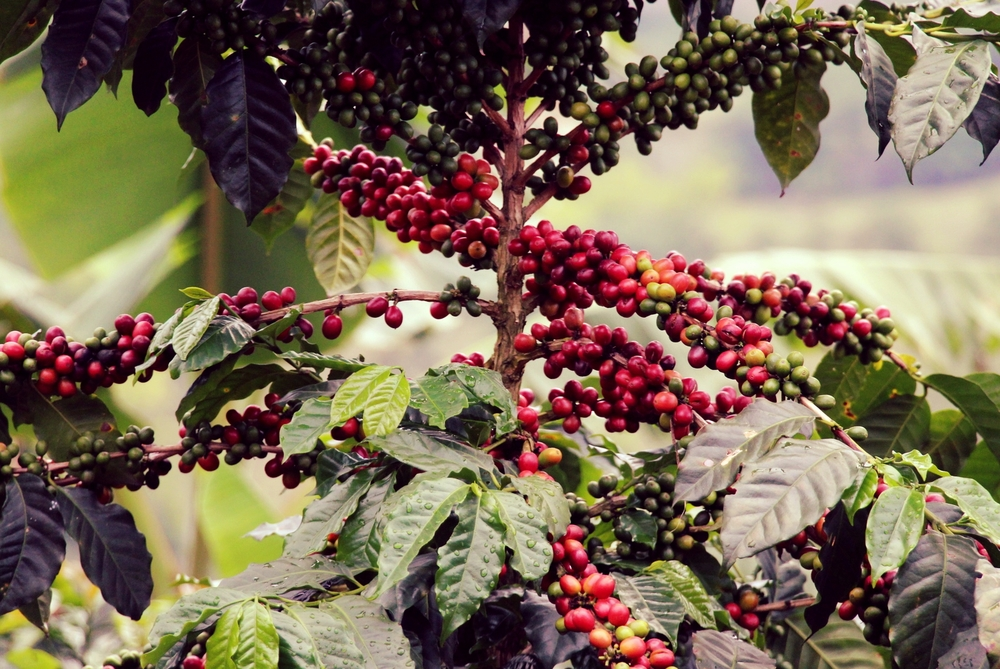 Juicy coffee tree in Don Rafael's plantation