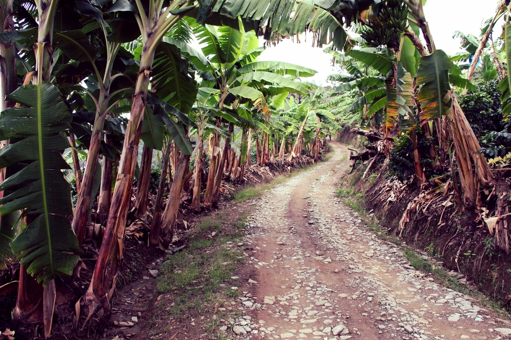 A narrow, banana-lined road through Don Rafael's finca