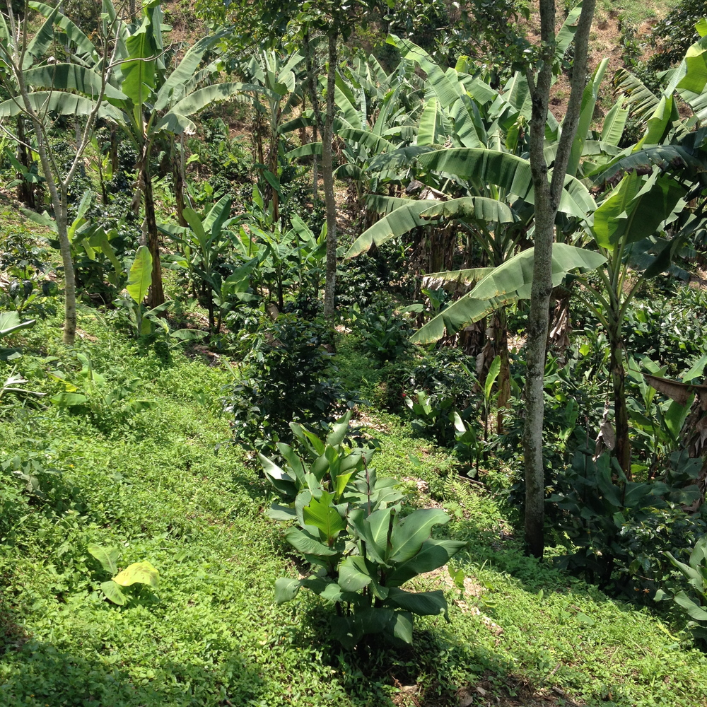 Coffee growing under shade‏