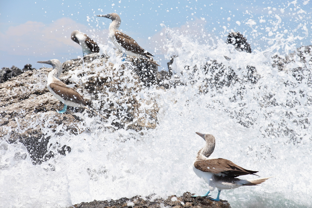 Blue-footed boobies having a splash
