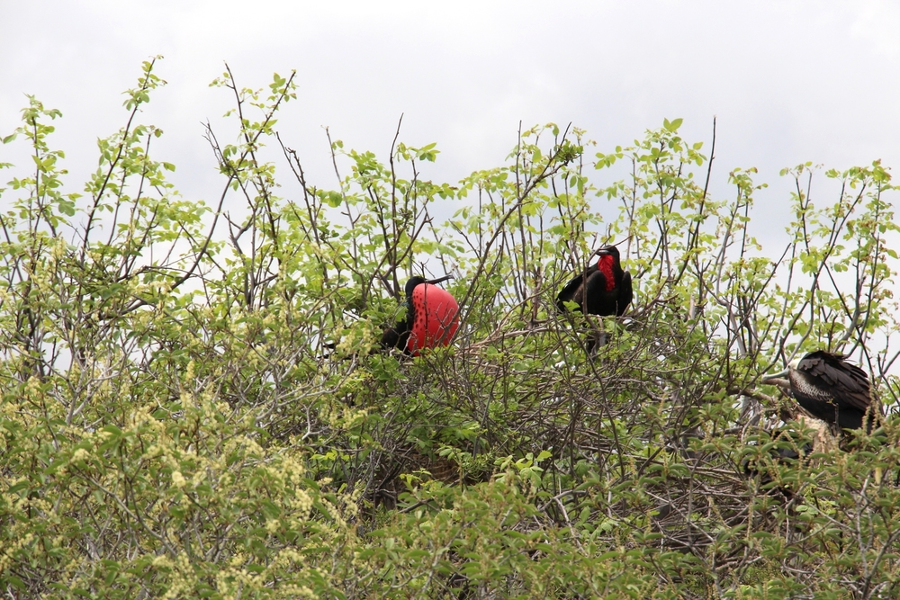 Male Frigatebird in love