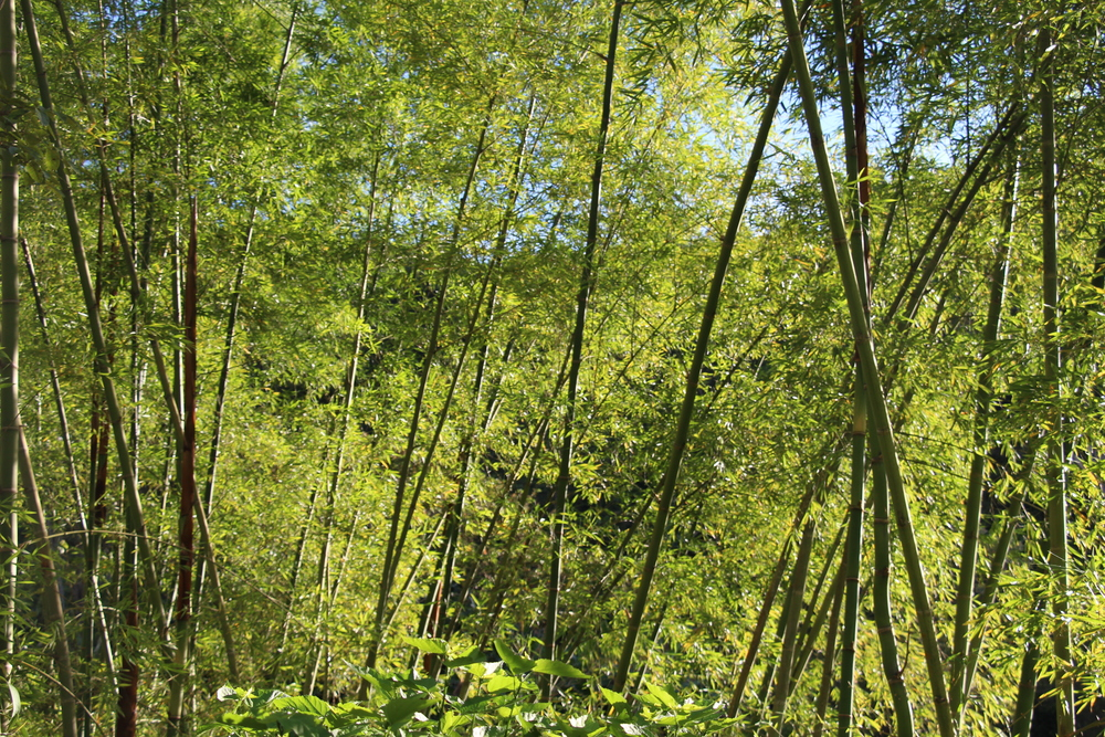 'Guadua' bamboo around Finca La Isla
