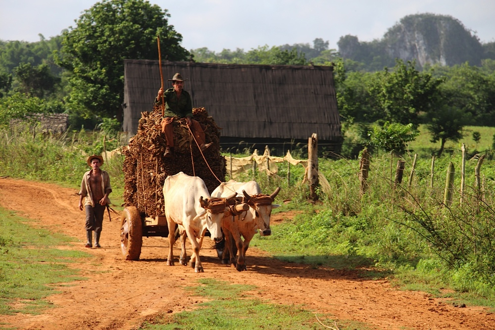 Transporting tobacco leaves - Viñales