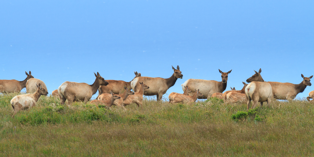 Tule Elk, Moms and Calves