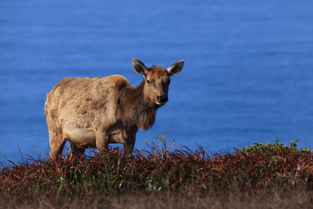 Tule Elk on Tomales Point