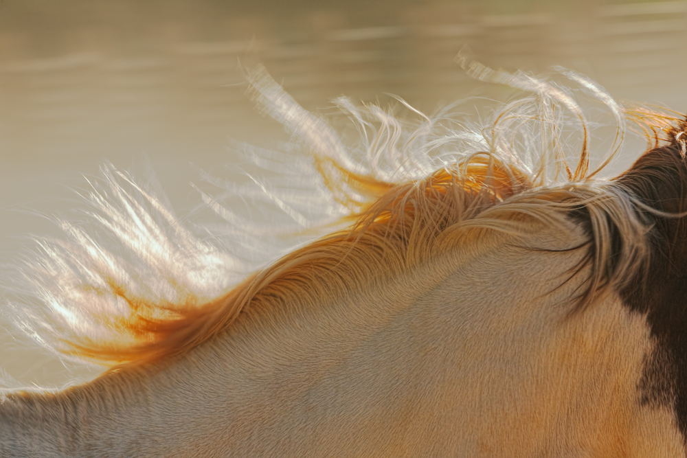 Horse's Mane