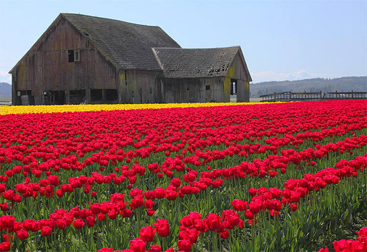 Skagit Valley Tulips by Debbie Teashon/Rainyside.com