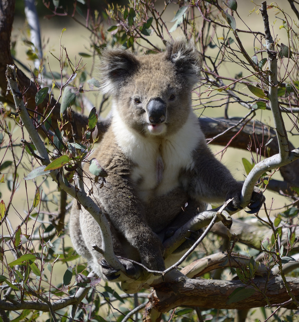 A male koala is easily distinguished by a brown mark on his chest. The brown mark is his scent gland which he rubs against the base of the trees in his territory as well as rubbing it on the trunk as he climbs. In doing this he marks out his territory and attracts females.  If you can smell a strong odour, it may be the males in front of you.  Photo  by Les Olsen /  CC BY-SA 2.0