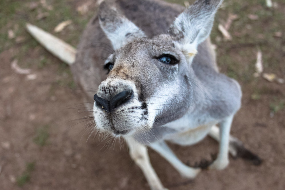 Why You Should Visit Lone Pine Koala Sanctuary On Your Next Aussie Vacation — Tofu Traveler