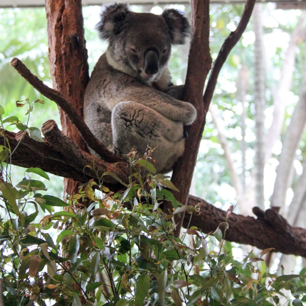 Sleepy Koala at Lone Pine Koala Sanctuary