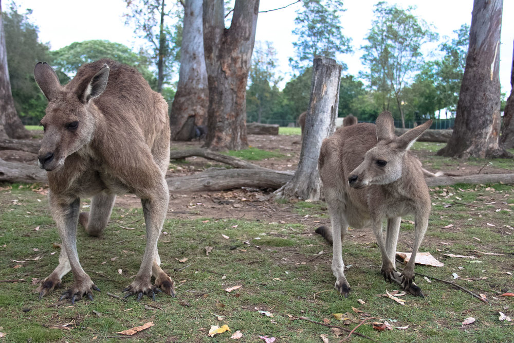 Male kangaroo next to a female. Check out those muscles!