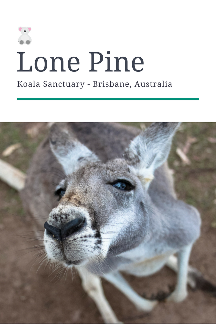 Lone Pine is the oldest and largest koala sanctuary in the world. Here you can learn all about these super cute animals and get a chance to take a picture with them or even hold them and have a cuddle session.  Lone Pine houses 130 koalas as well as kangaroos, wallabies, emus, dingoes, snakes and lots of other Australian wildlife. There are shows on during the day as well as some great hands-on experiences with the animals.
