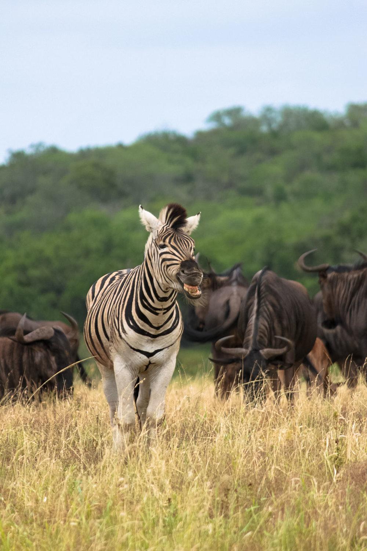 Zebra, St Lucia