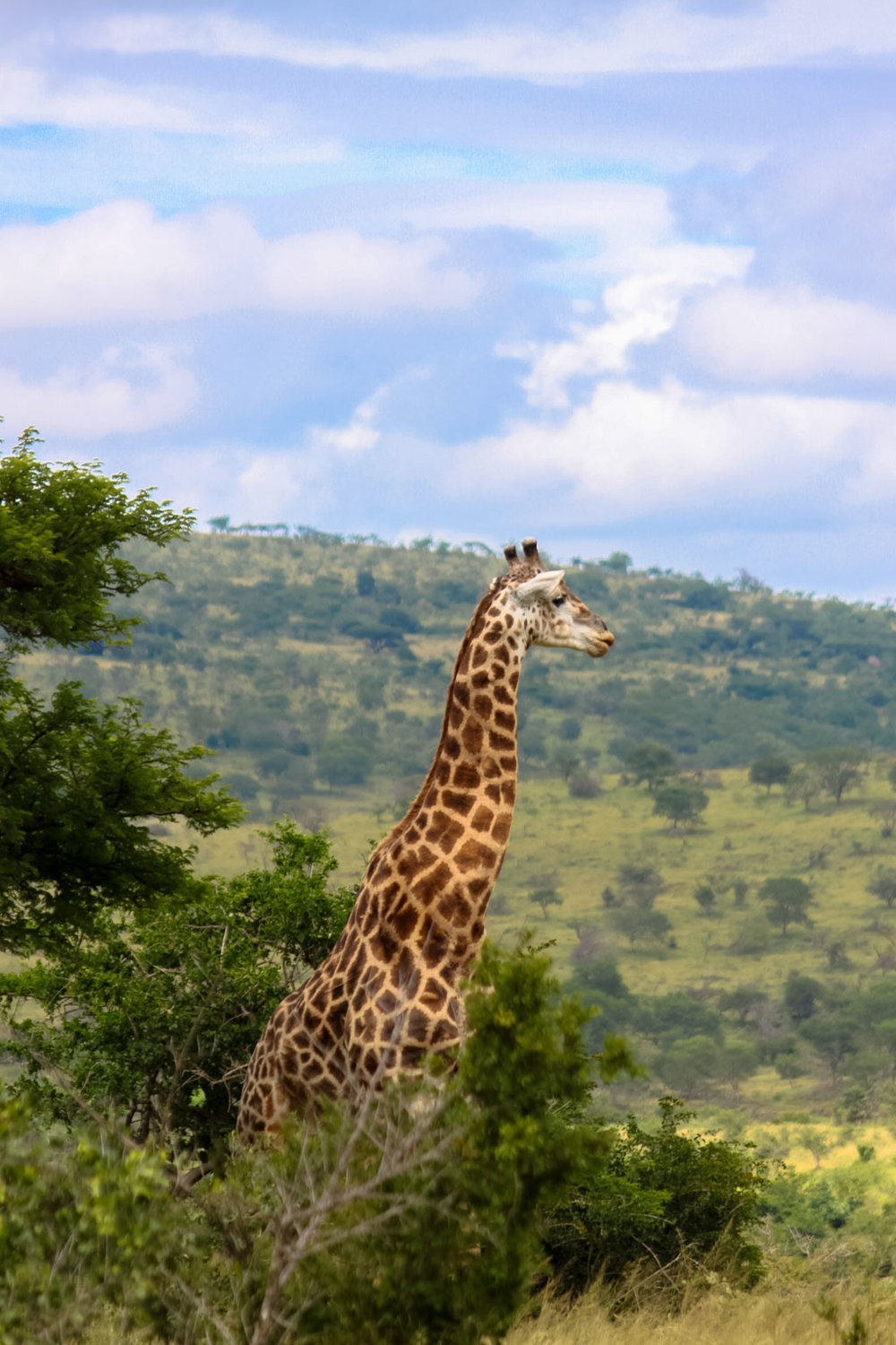 Holiday Destinations in South Africa - Giraffe in Hluhluwe Imfolozi Park