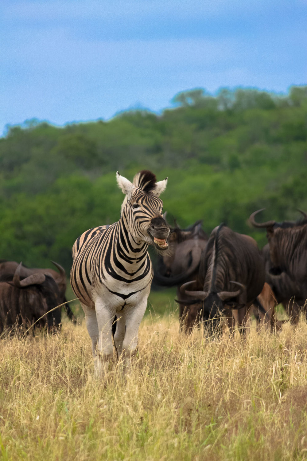 Holiday Destinations in South Africa - Zebra in Hluhluwe Imfolozi Park