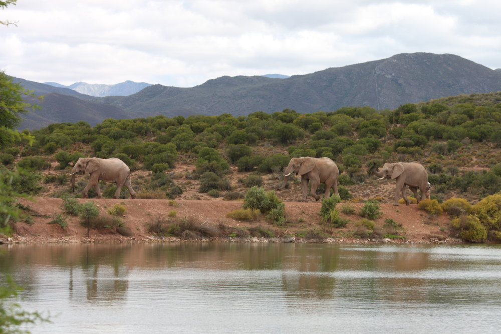 Elephants heading to lunch in Outdshoorn