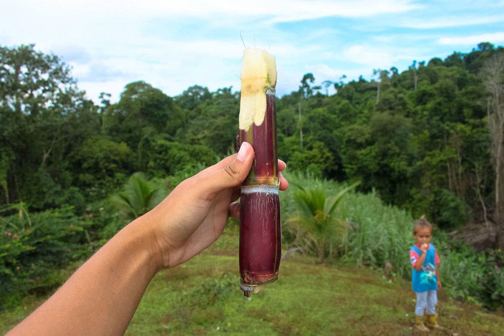 Eating fresh sugar cane on a walk from Bella Vista