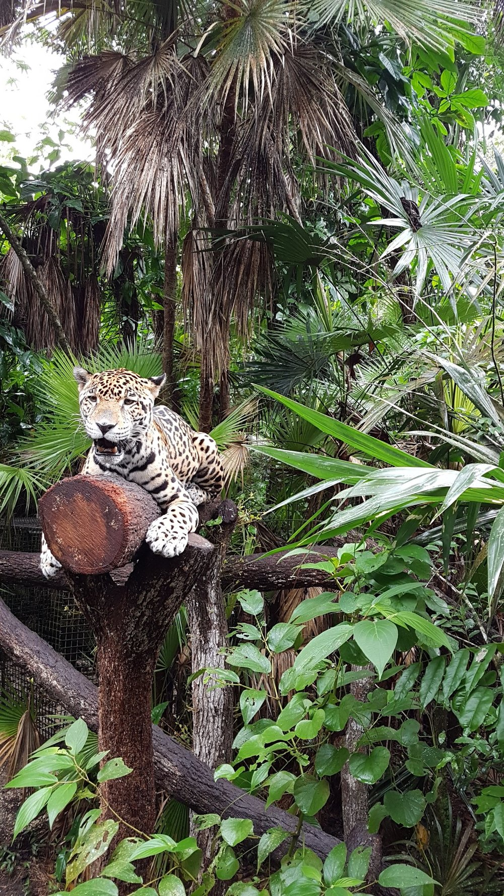 Junior Buddy the jaguar at Belize Zoo