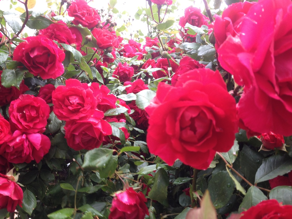 rose 005.jpg