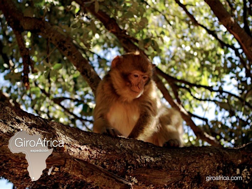 giroafrica clever monkeys