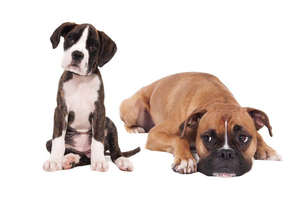 Boxer and puppy pic.jpg