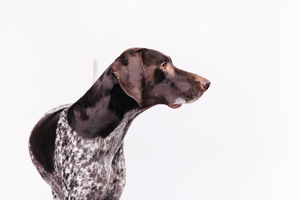 Pfotentick Hundefotografie Studio Shooting Mara Deutsch Kurzhaar