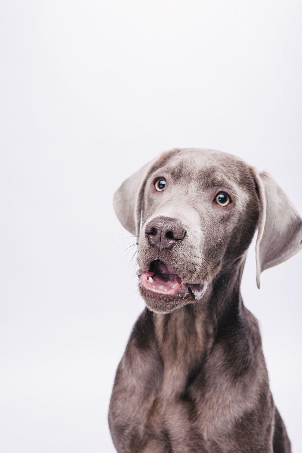 Pfotentick Hundefotografie Studio Shooting Sam Labrador Retriever