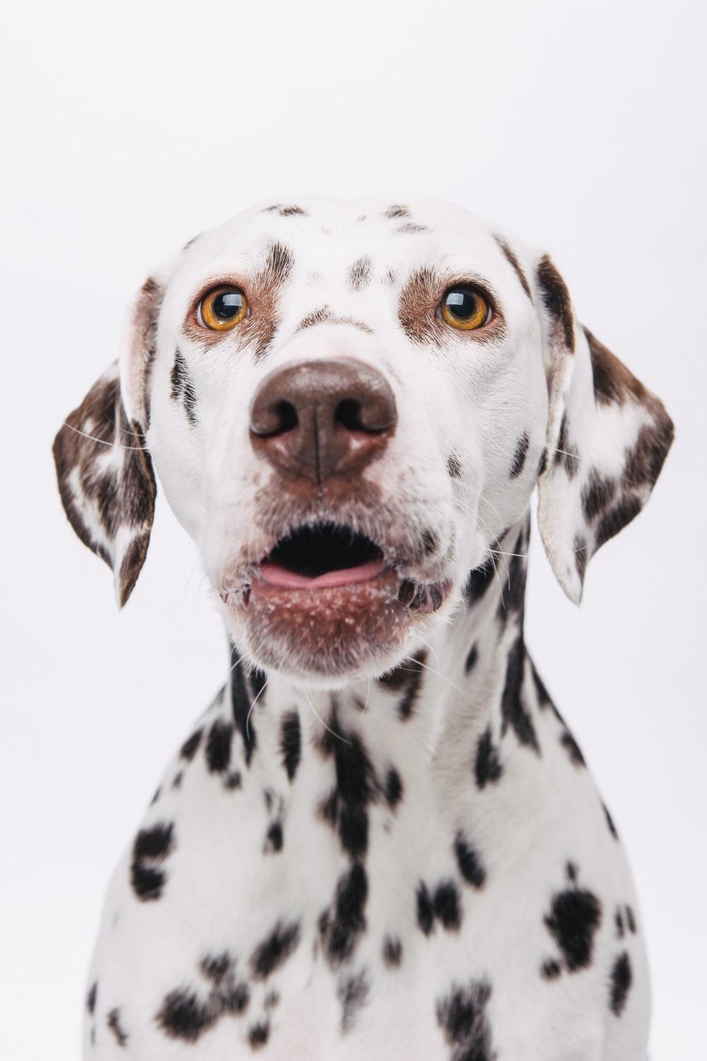 Pfotentick Hundefotografie Studio Shooting Maya Dalmatiner
