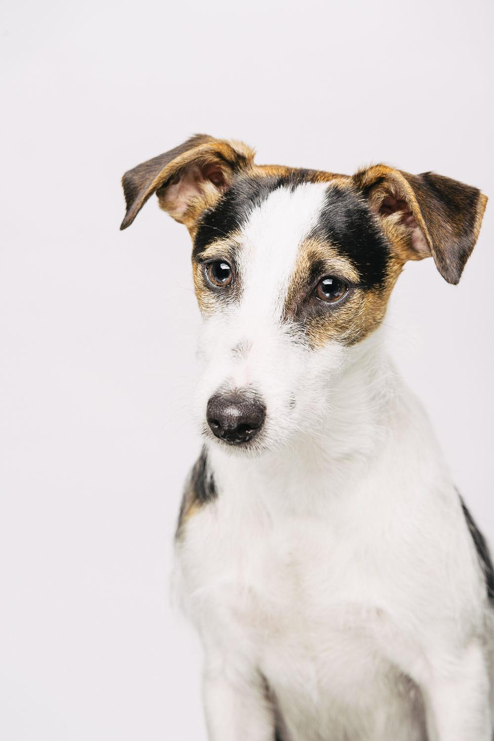 Pfotentick Hundefotografie Studio Shooting Luca Parson Russel Terrier