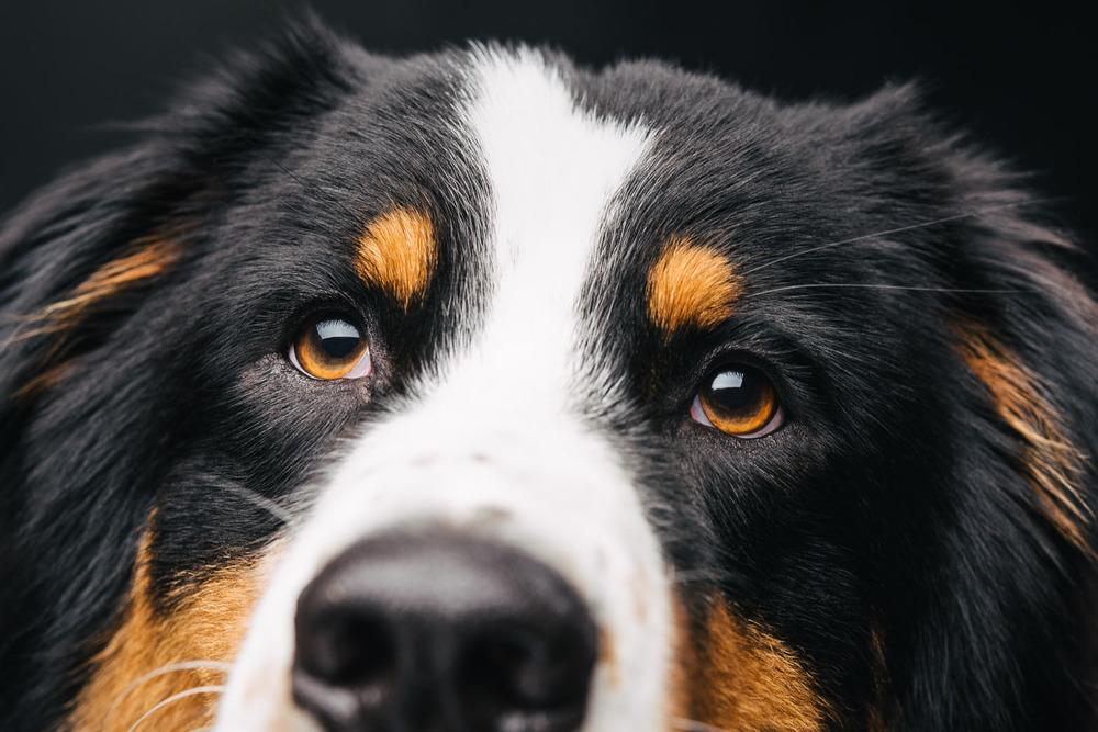 Pfotentick Hundefotografie Studio Shooting Sparky